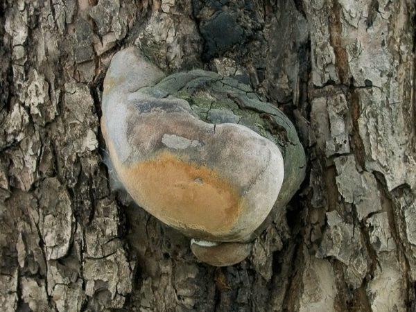 При появлении на стволе яблони гриба трутовика, его необходимо удалить