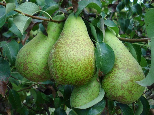 Плоды сорта груши Конференция