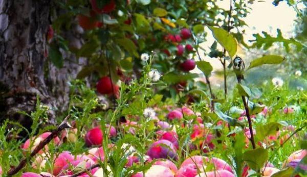 При нехватке влаги яблоки Боровинка осыпаются