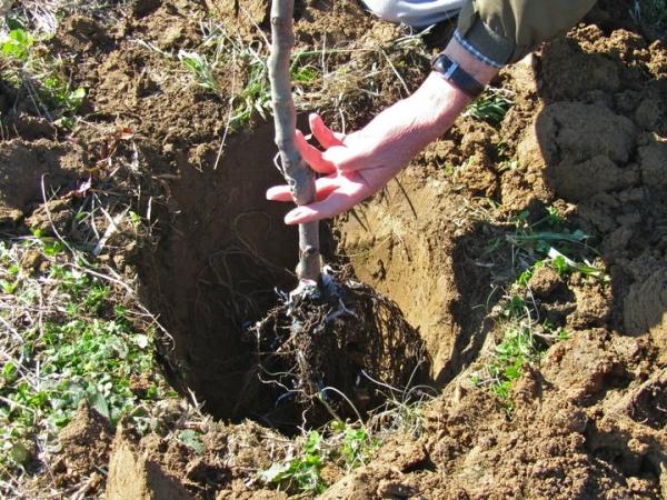 При посадке яблони весной новое дерево придется систематически и обильно поливать