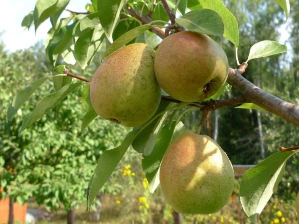 Рекомендуется собирать плоды груши Северянка за неделю до наступления полного созревания