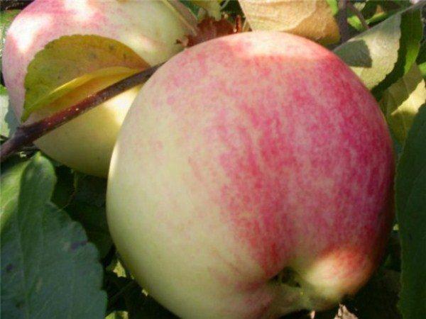 Яблони Бельфлер китайка приносят стабильный урожай