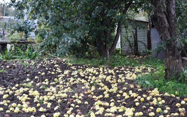 Опадание зеленых яблок