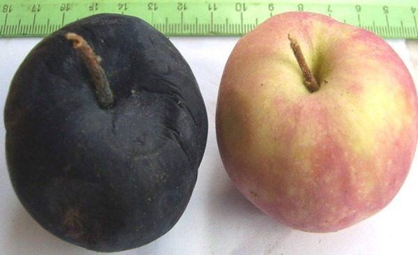 Здоровое яблоко и плод, пораженный черным раком