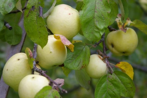 Яблоки сорта Антоновка собирают на хранение в конце сентября-начале октября