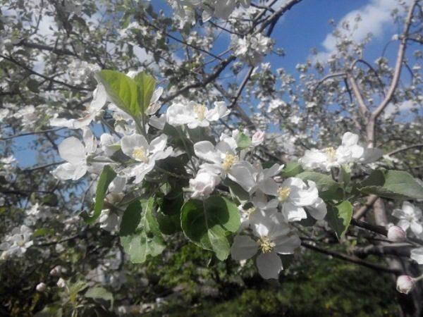 Яблоня Апорт в цвету