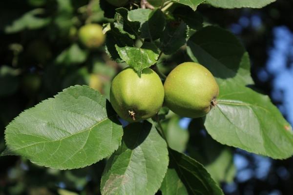 Что можно сделать и как применить недозрелые яблоки?
