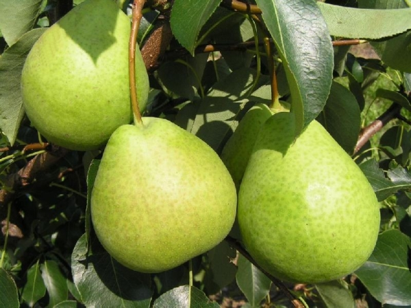 Груша содержит много витаминов, способствует повышению иммунитета