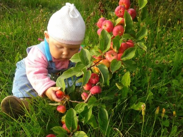 Яблоки принесут пользу, если тщательно их мыть, есть их после приема пищи, не есть много семечек