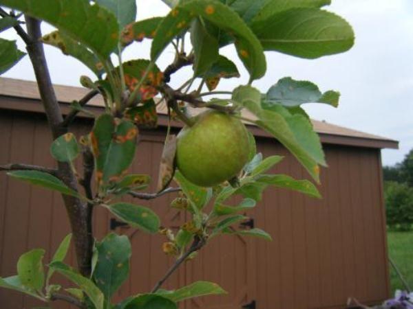 Симптомы ржавчины на листьях яблони