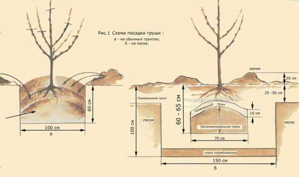 Схема посадки груши в грунт