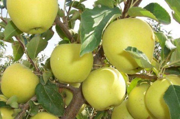 Плоды яблок Голден