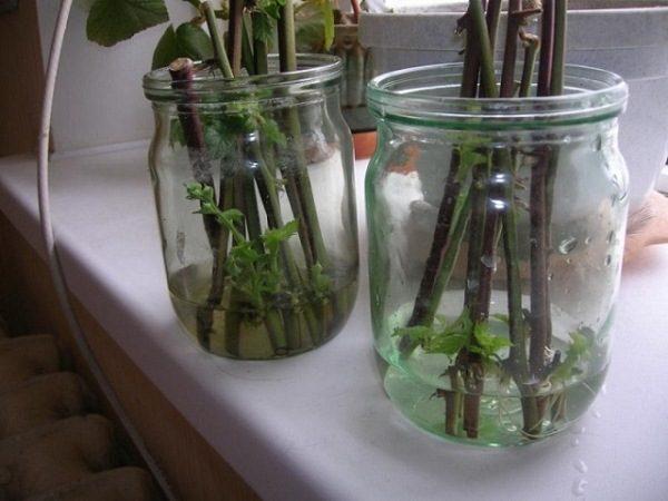 Разведение малины зелеными черенками