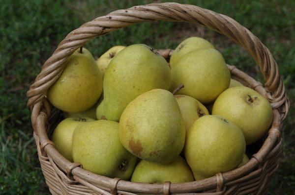 Плоды груши Чижовская
