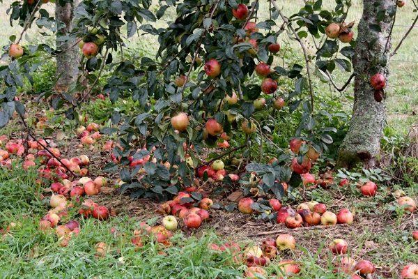 Опавшие красные яблоки