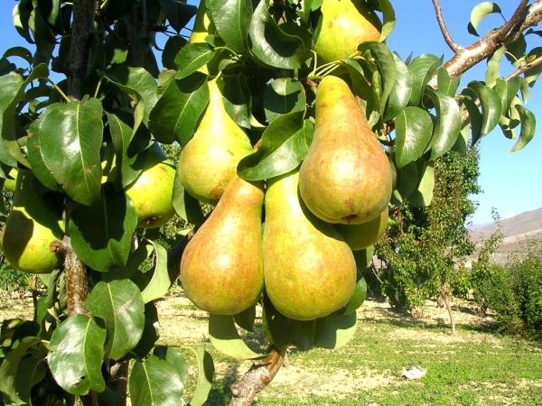 Чтобы груша цвела и давала плоды, необходимо иметь на участке не одно дерево, а несколько
