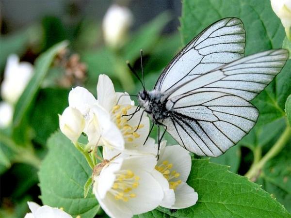 Опасность для сорта груш Северянка представляет бабочка боярышница