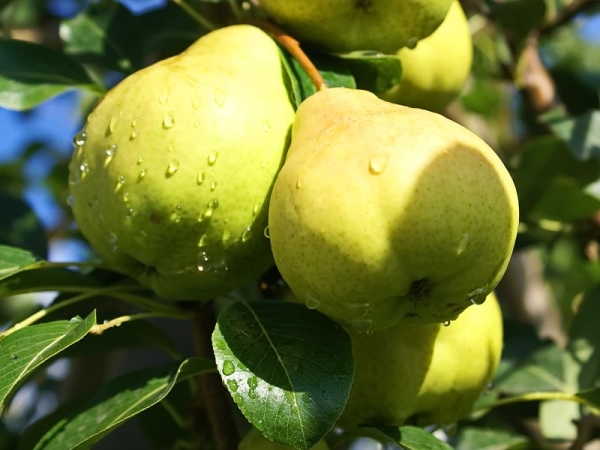 Сорт груш Августовская роса: описательные характеристики дерева и плодов
