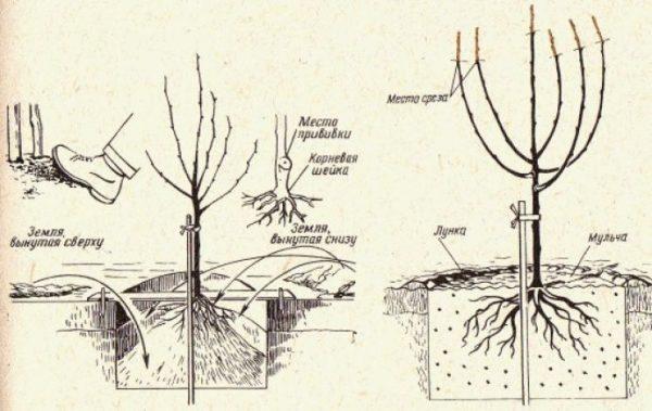 Схема посадки груши Москвичка