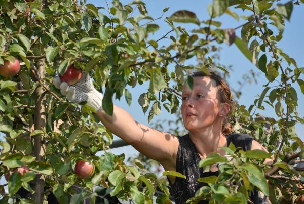 Собирать яблоки на хранение можно в сентябре или октябре месяце