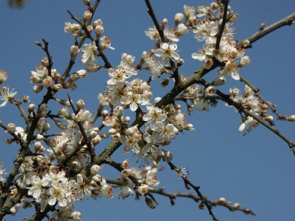 Цветки терна в качестве лечебного сырья заготавливают до раскрытия бутонов,  готовят настои и отвары