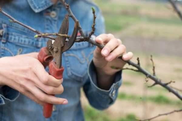 Формирование кроны яблони в виде обрезки требуется практически в течение всей жизни дерева