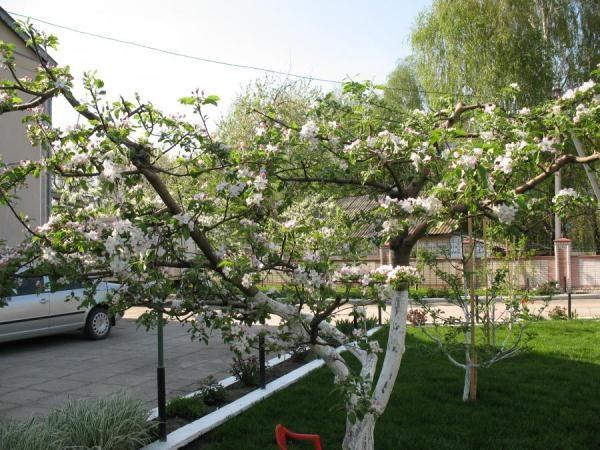 Чашевидная крона яблони