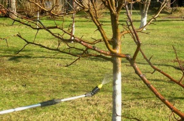Обработка деревьев бордоской жидкостью
