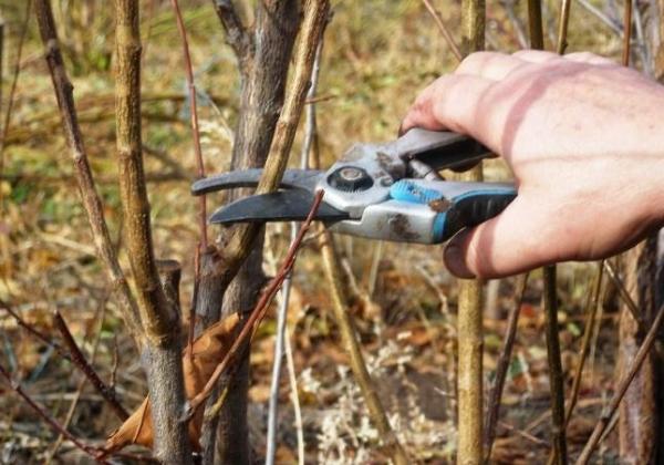 Выращивание яблони из черенка займет меньше времени, нежели из семечка