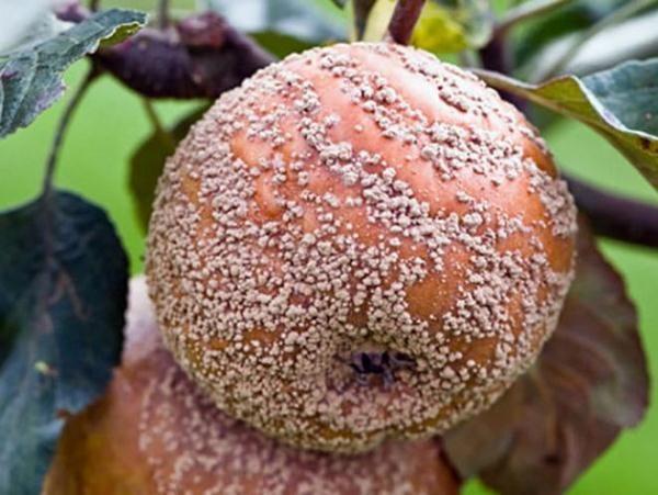 Плодовая гниль или монилиоз