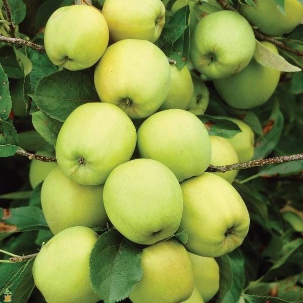 Цвет плодов Голден варьируется от золотистого светло-зелёного до жёлтого