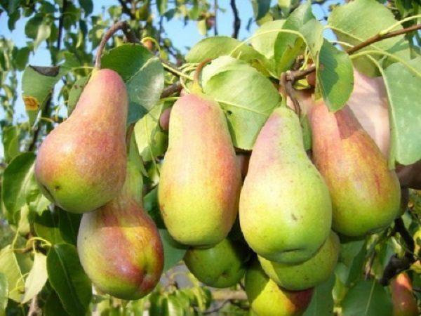 Спелые и сочные плоды Лесной красавицы, готовые к сбору