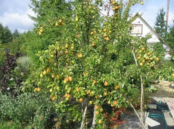 Дерево со спелыми грушами Лесная красавица
