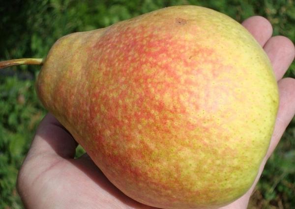 Плоды груши сорта Мраморная золотисто-зеленые, с красным румянцем, сочные и сладкие