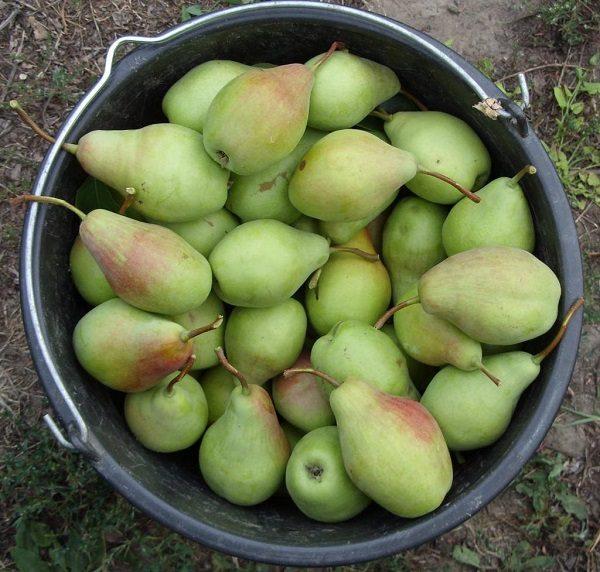 Собранный урожай с Талгарской красавицы