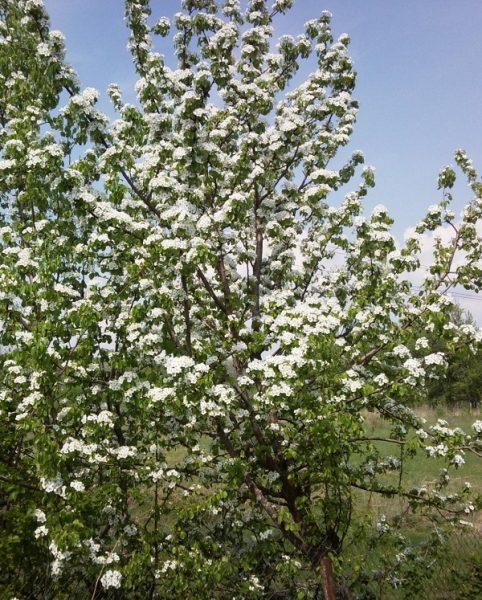 Цветущая груша сорта Талгарская красавица