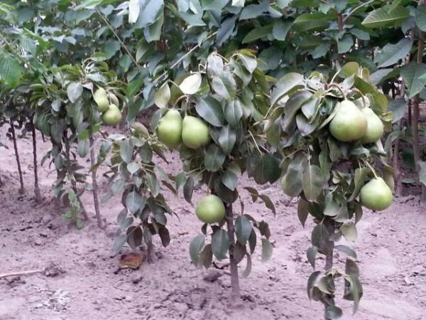Некоторые сорта груши начинают плодоносить после посадки на 10-й год и даже позднее