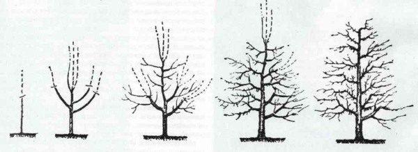 Схема правильной обрезки груши