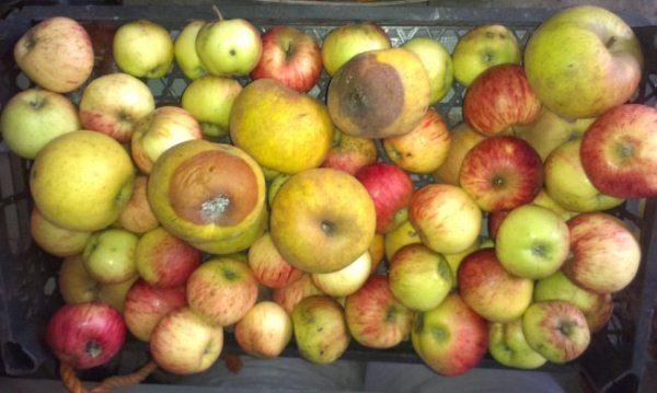 Плодовая гниль распространяется даже в процессе хранения яблок