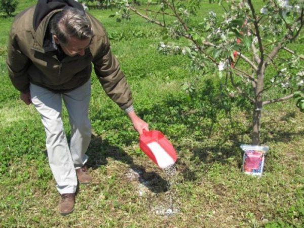 Для получения хорошего урожая необходима подкормка