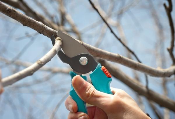 Прореживание кроны и плодов на грушевом дереве, обработка фунгицидами поможет защитить урожай