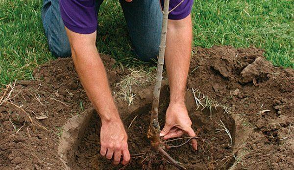 Закапывание подготовленного саженца в яму