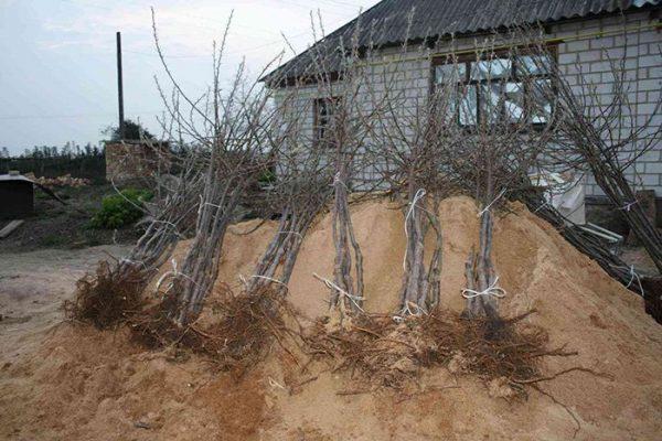 Подготовленные для посадки саженцы груши