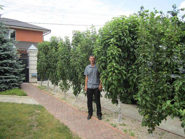 Выращивание колоновидной груши на садовом участке