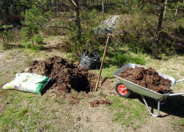 Сажать яблоню в яму нужно спустя 10-12 дней после подготовки ямы для нее