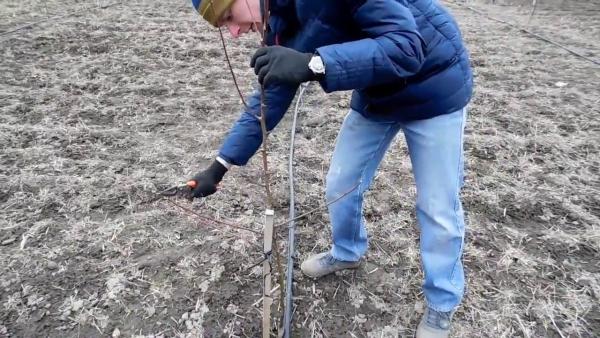 Весенняя обрезка грушевого дерева является наиболее важной для будущего урожая