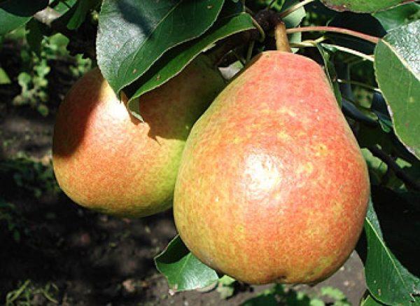 Спелые плоды Москвички, готовые к сбору