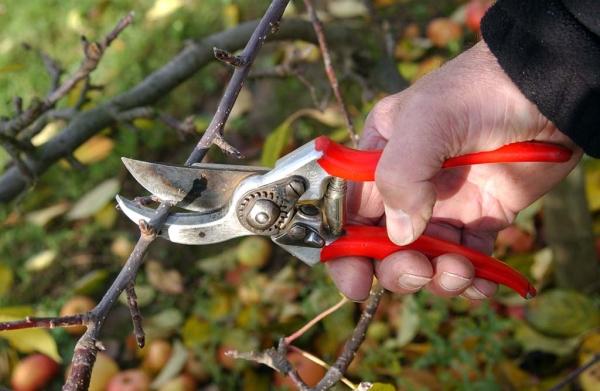 Схема правильной обрезки груши весной, осенью и летом, формирование кроны