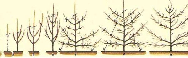 Формирование и обрезка кроны груши