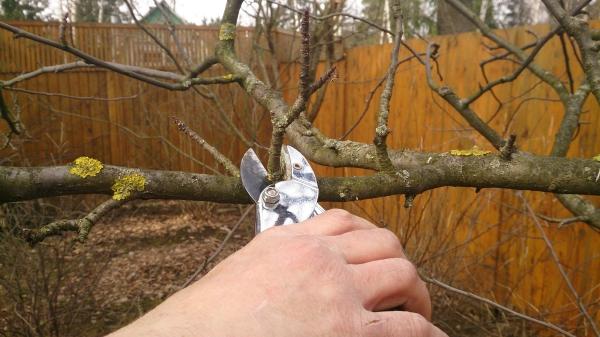 Осенняя обрезка является омолаживающей процедурой для стареющего грушевого дерева